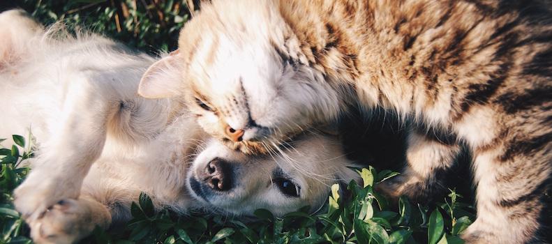 Gato con perro con feromonas para estar relajados