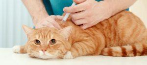 Veterinario vacunando a un gato