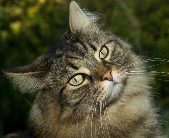 gato-bosque-noruega-1