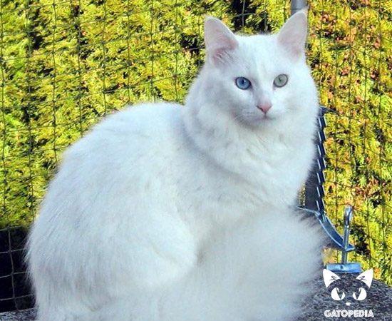 gato-de-angora-5