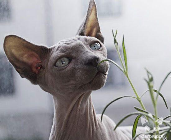 Gato Egipcio gris