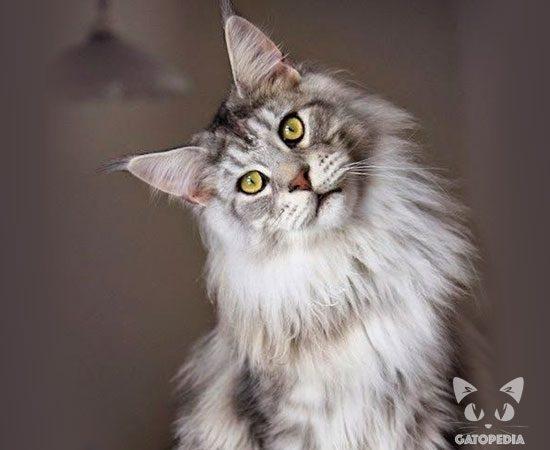 gato-maine-coon-4