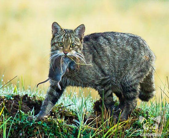 gato-montes-3