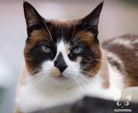 gato-snowshoe-1