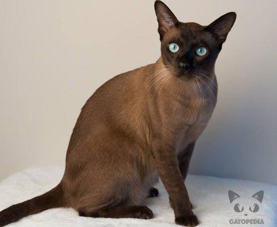 Gato tonkines